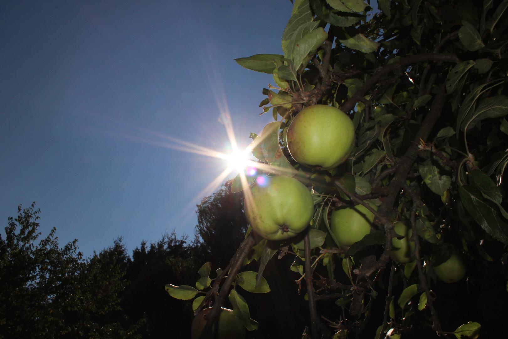 Äpfel im Sonnenschein