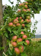 Äpfel mit einem bißchen Ast.....