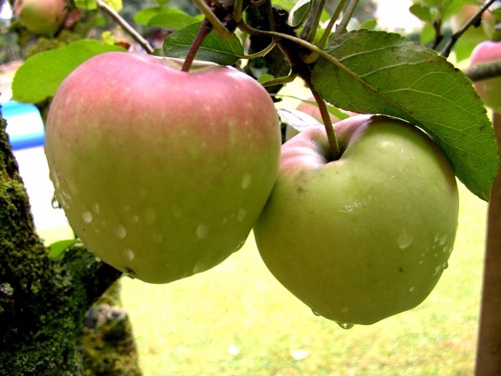 Äpfel mit Morgentau