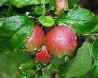 Äpfel nach Regen