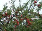 Äpfel ohne Ende :PP
