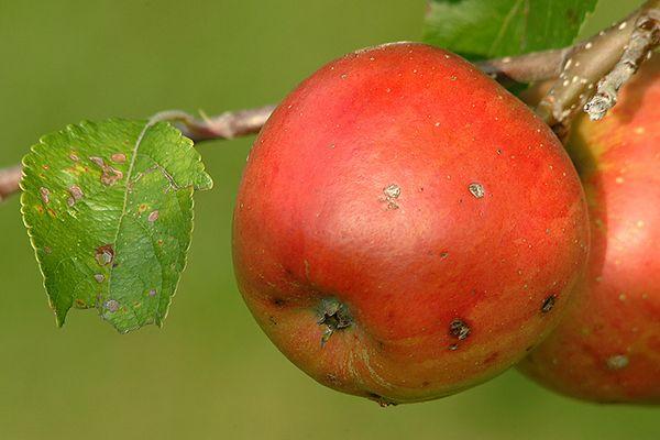 Äpfel zu verkaufen :-)))