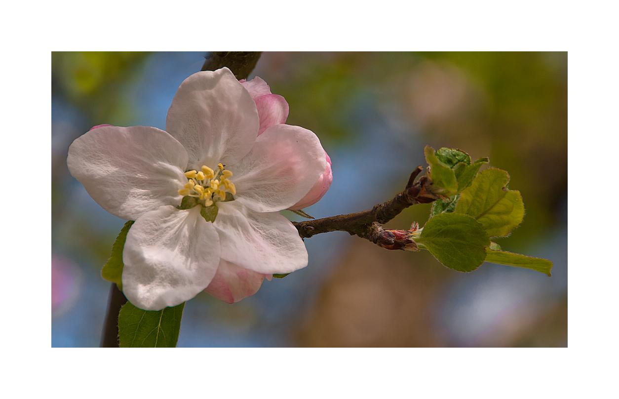 Äpfelbaumblüte