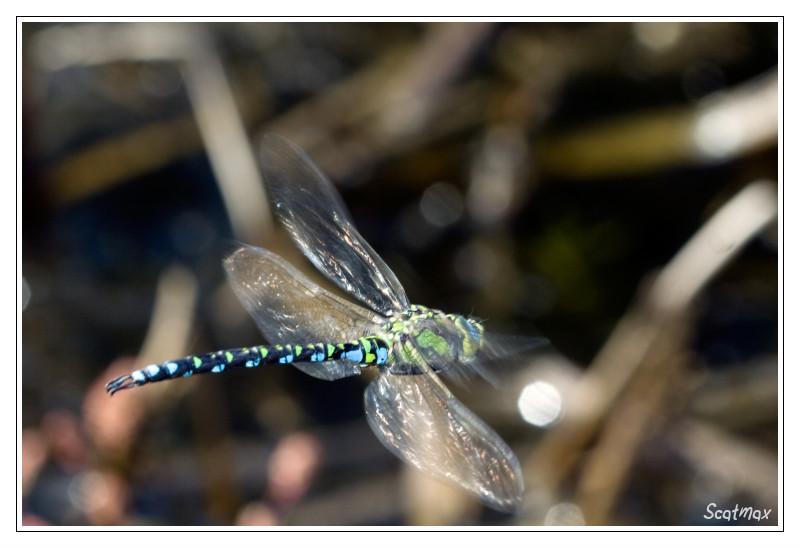 Aeschne bleue (en chasse)