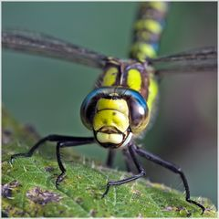Aeschne bleue mâle