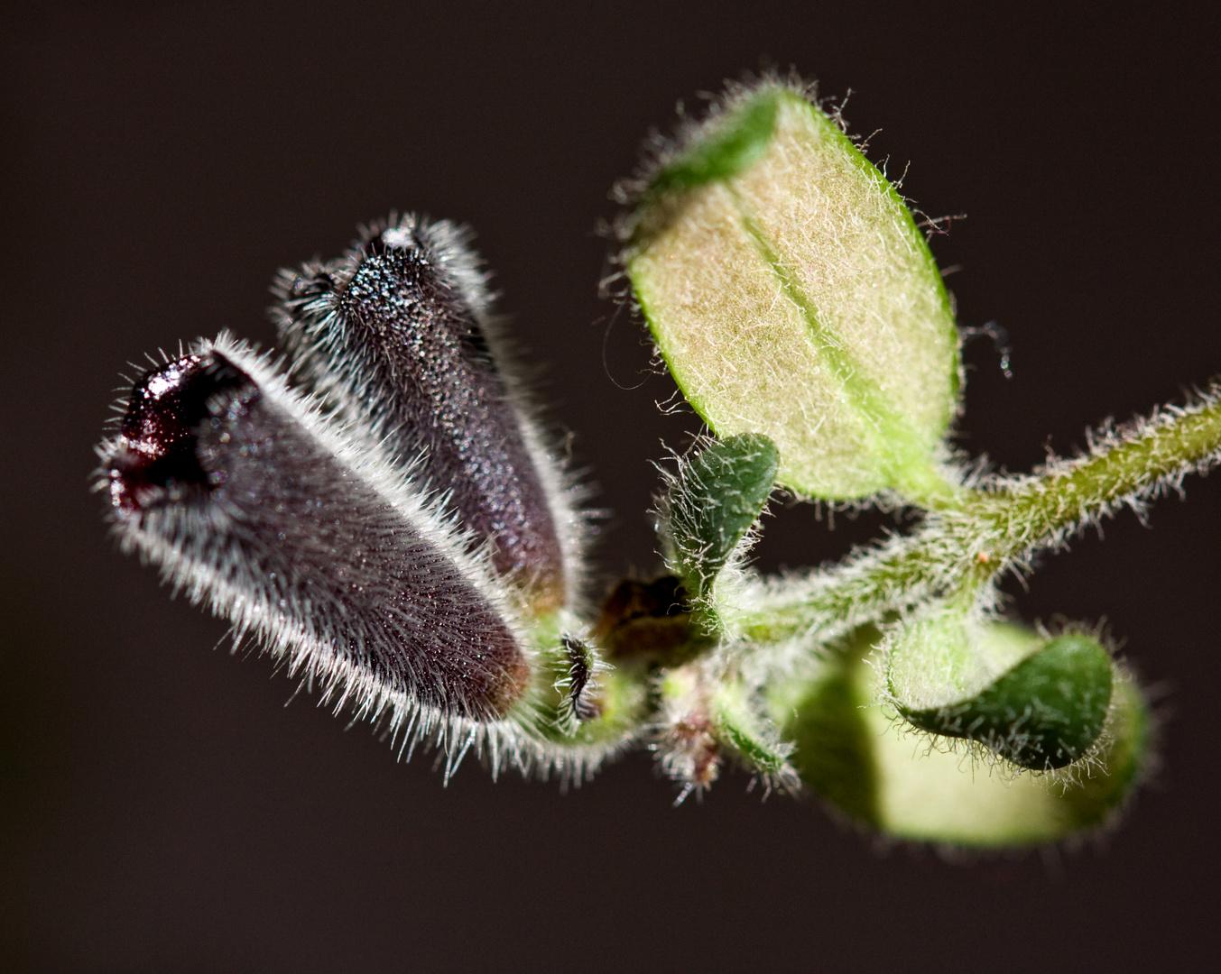Aeschynanthus twister, lipstickplant, Aeschinantus