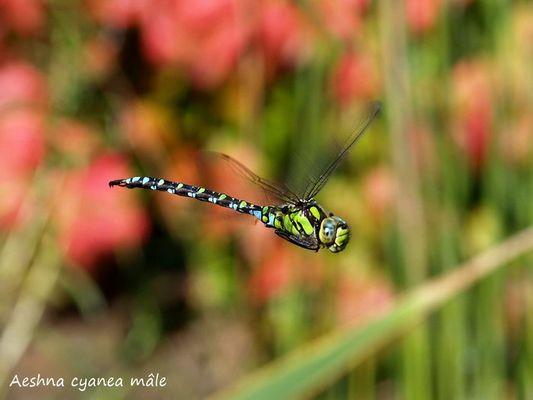Aeshna cyanea mâle