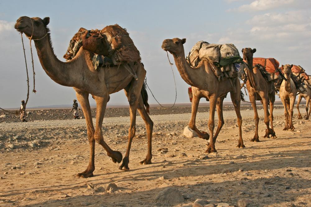 Äthiopien - Kamelkarawanen auf dem Rückweg vom Salzsee (2)