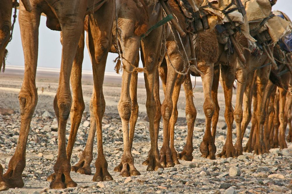 Äthiopien - Kamelkarawanen auf dem Rückweg vom Salzsee (7)