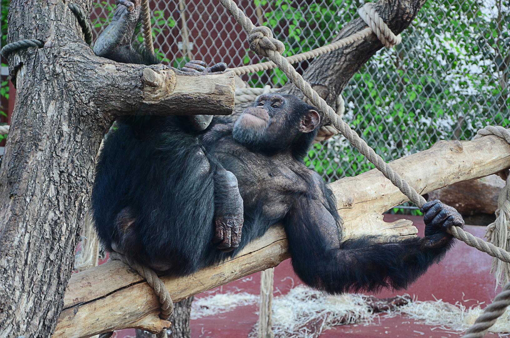 Affe beim chillen
