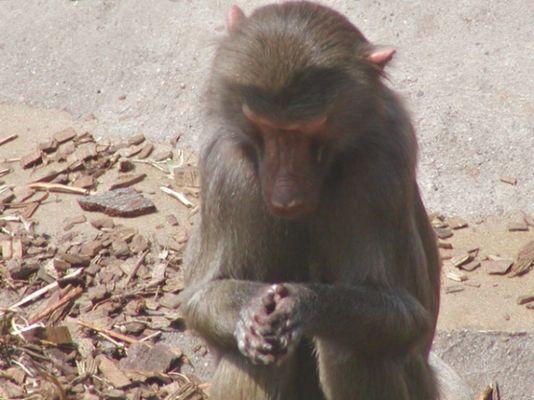 Affe beim Morgengebet