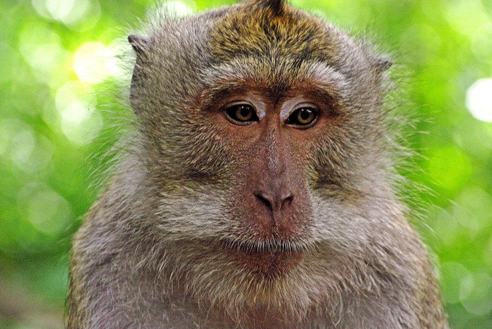 Affe im Monkey Park Bali