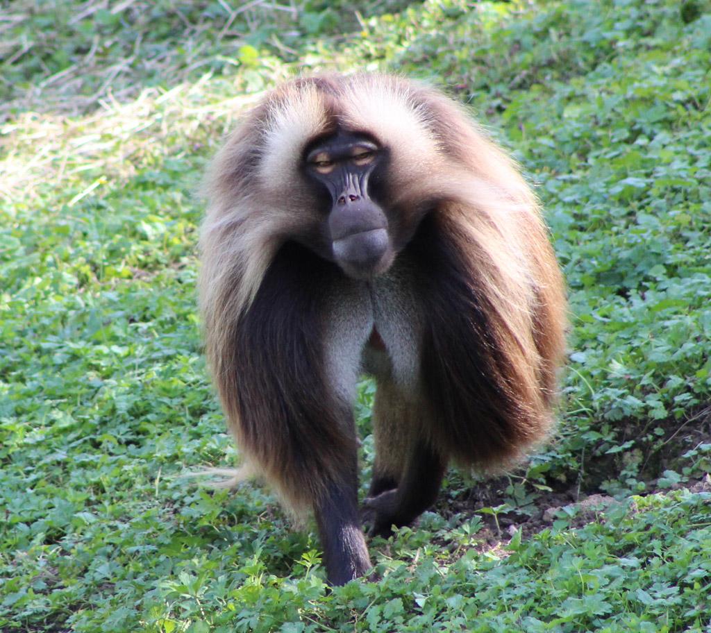 Affe im schönsten Gewand