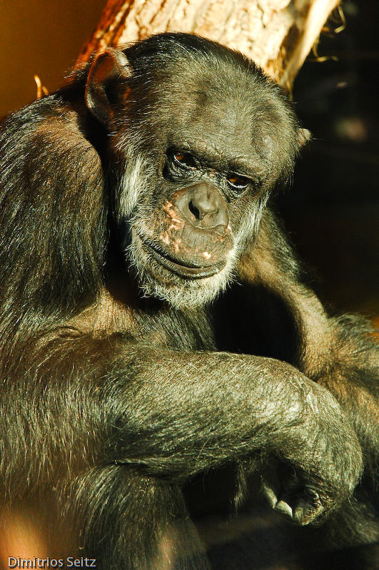 Affe im Zoo Karlsruhe