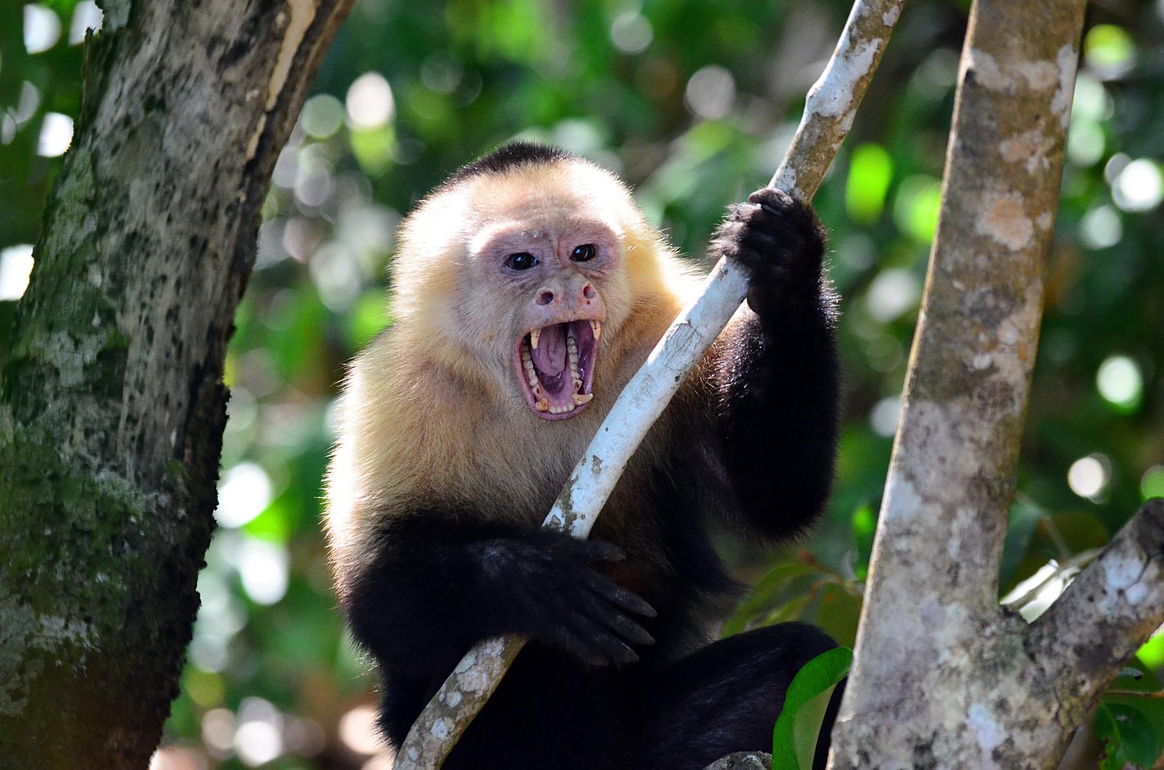 Affe in Costa Rica