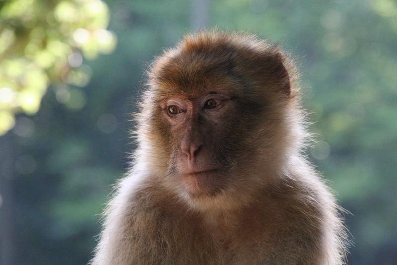 Affe in einem Streichelzoo in Bretten