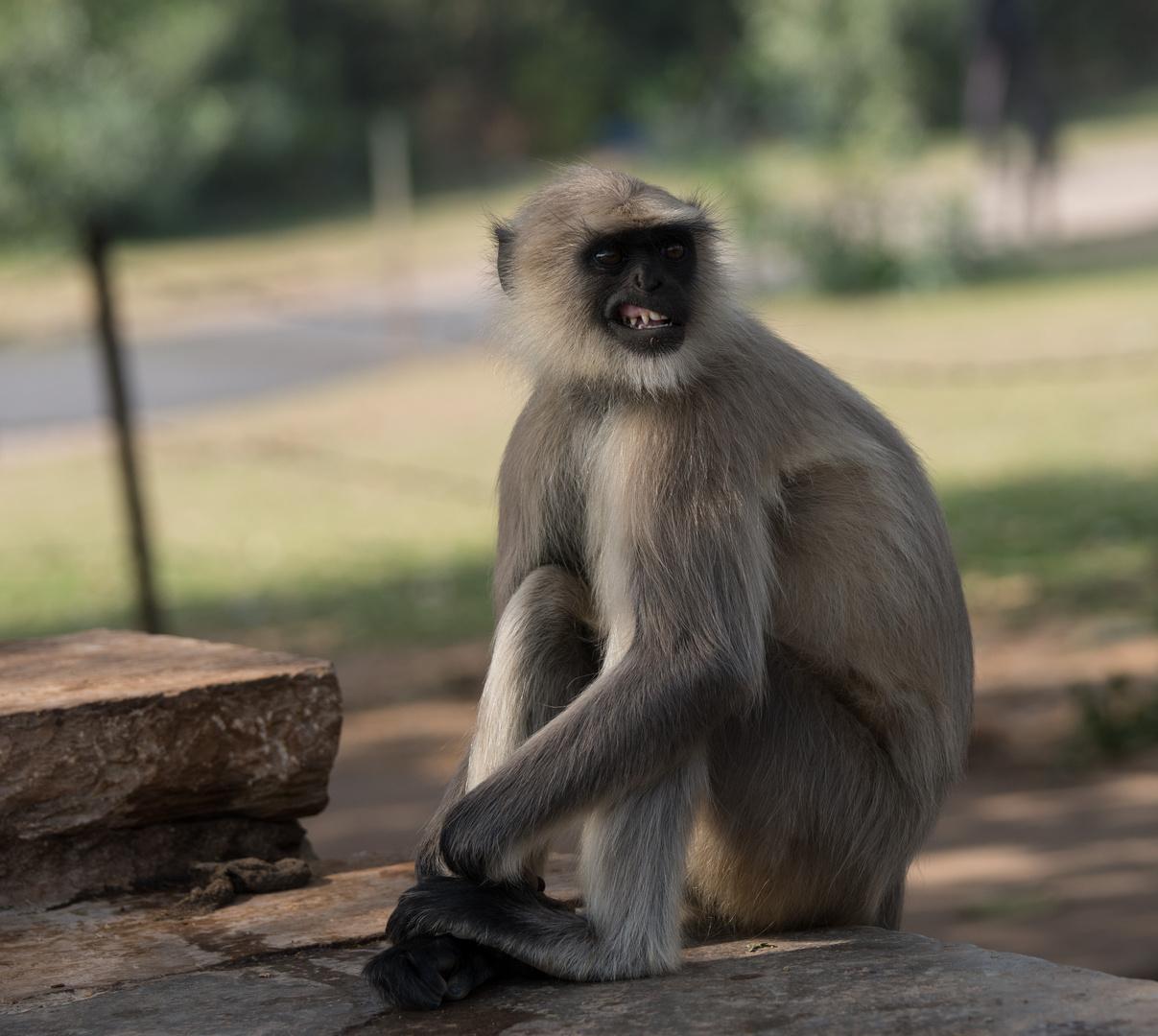 Affe / Indien - Rajastan