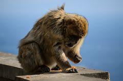 Affe mit Möhre auf einer Mauer