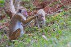 Affen am Sigiriya - Sri Lanka