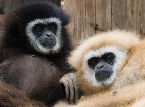 Affen auf Teneriffa