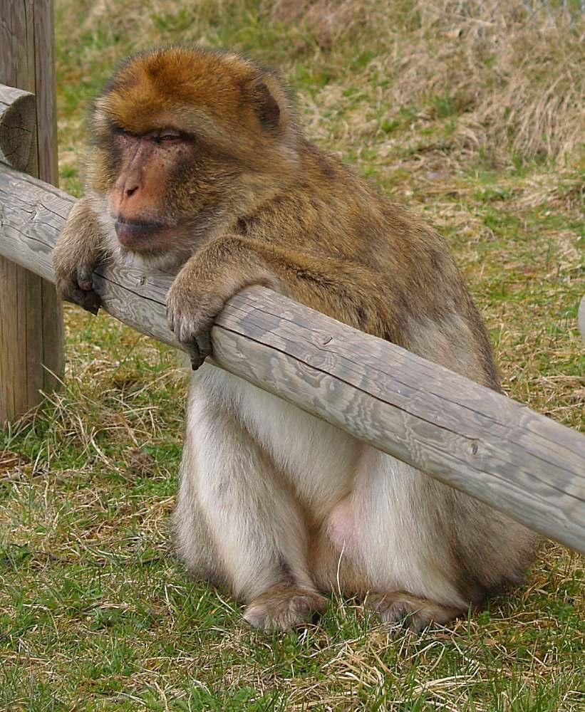 Affen-Ede auf der Lauer ;-)