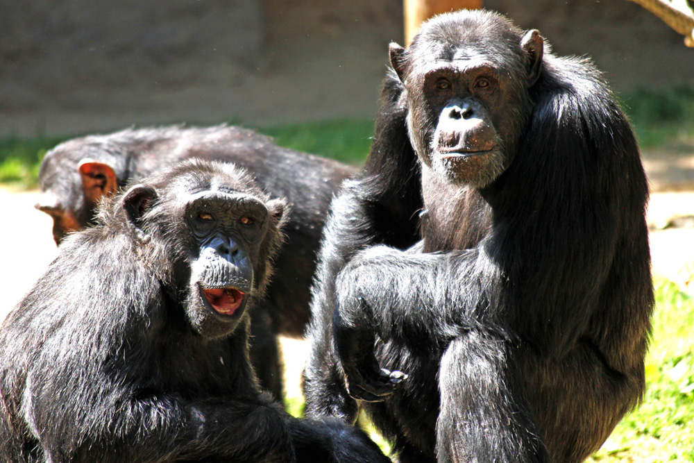 Affen gaffen