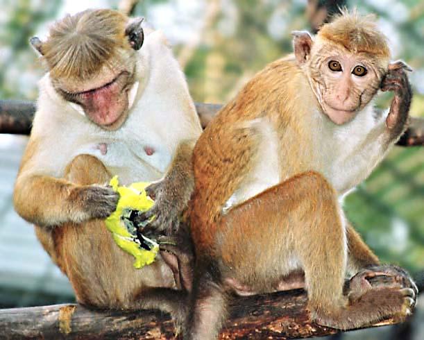Affen im Berliner ZOO
