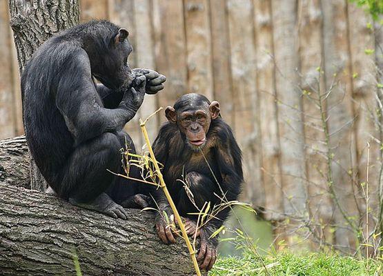 Affen im Münsteraner Zoo #2