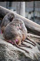 Affen im Zoo Augsburg