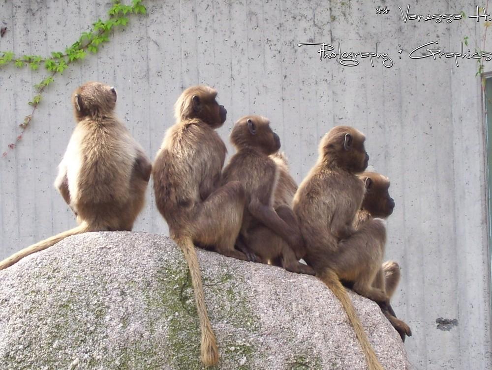 Affen in der Willhelma