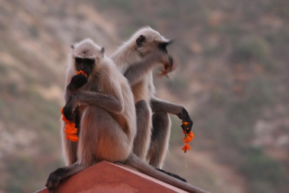 Affen, Indien