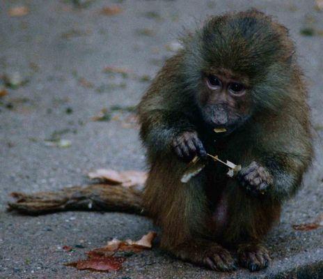 Affen Kind