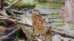 Affen Mama mit Baby