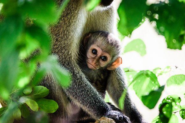 Affenbaby (Vervet Monkey), Tsavo West
