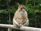 Affenberg Salem - Affe mit Baby