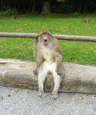 Affenberg Salem - Lässiger Affe