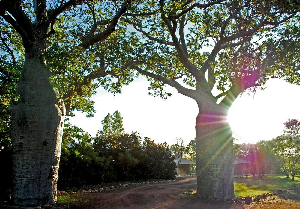 affenbrotbäume