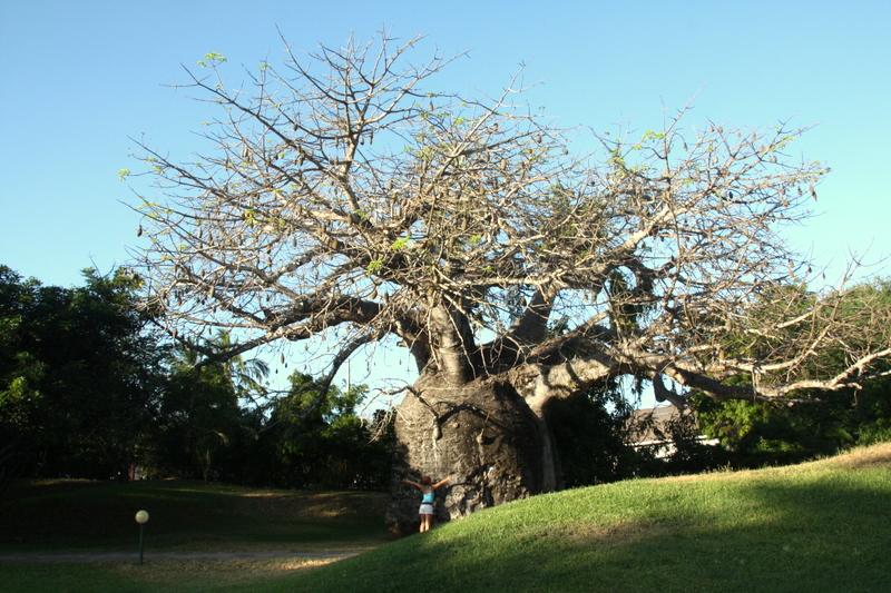 affenbrotbaum in Kenia ca.4ooo Jahre alt