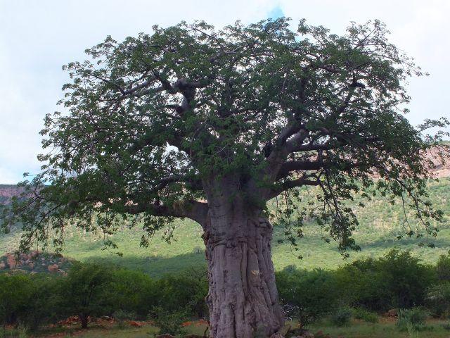 Affenbrotbaum (P)