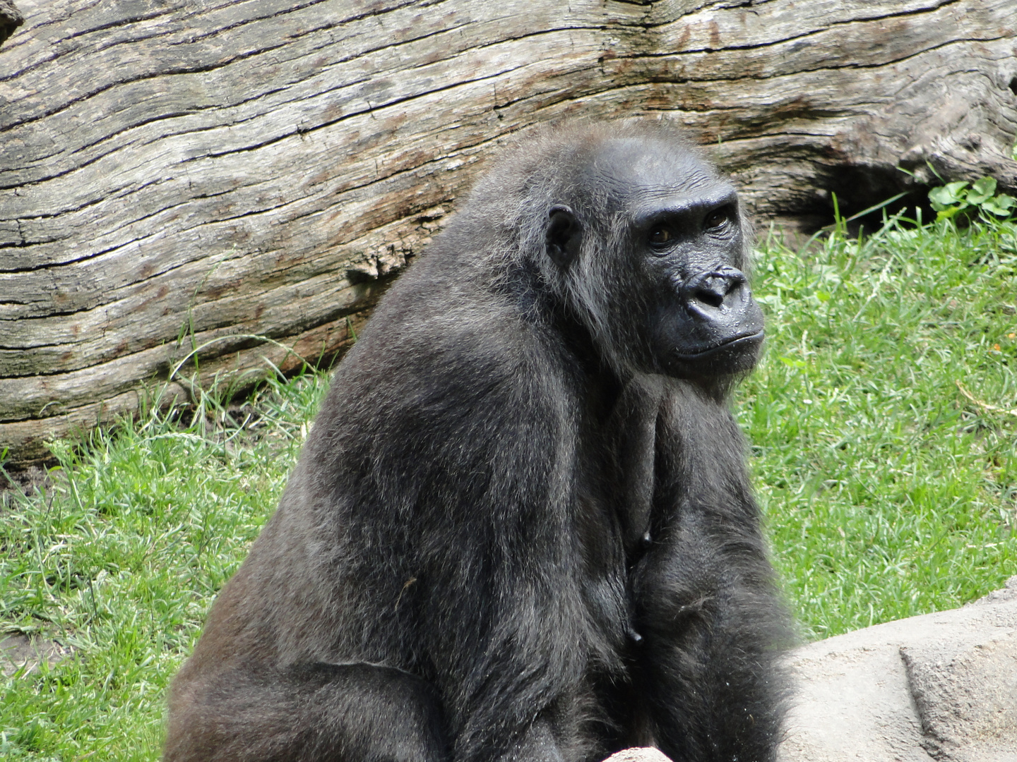 Affendame im Zoo Hannover