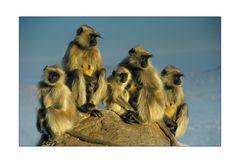 Affenfamilie beim Sonnenaufgang