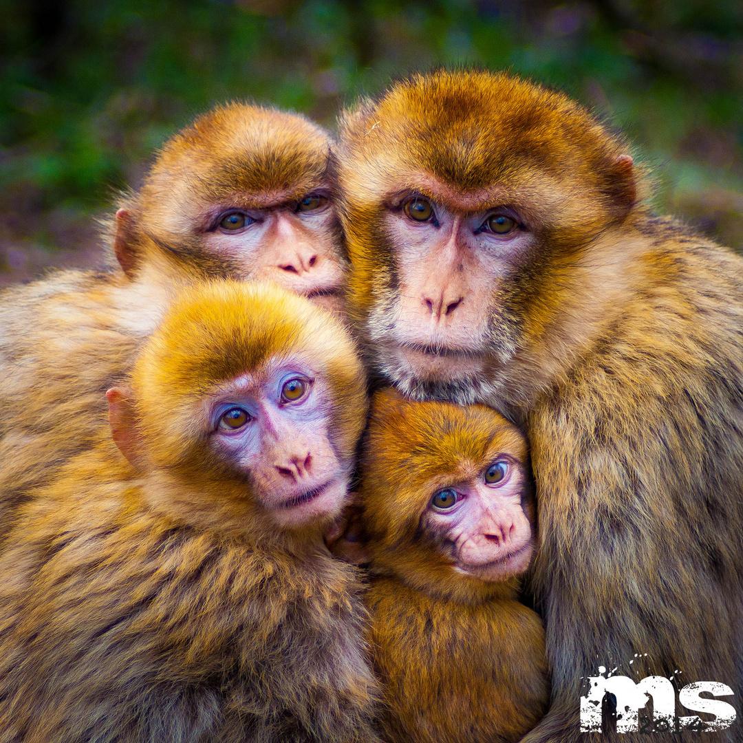 Affenfamilie Remake