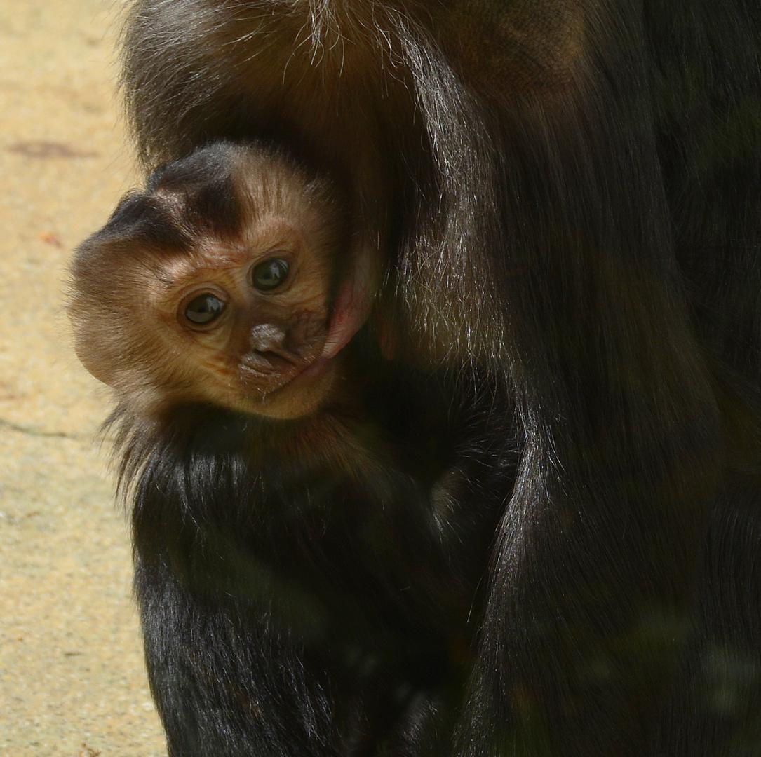 Affenjunges beim Trinken