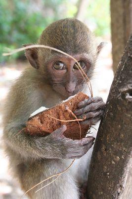 Affenkind auf Ko Dam Hok Island, Thailand