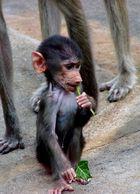 Affenkind mit dem Efeublatt