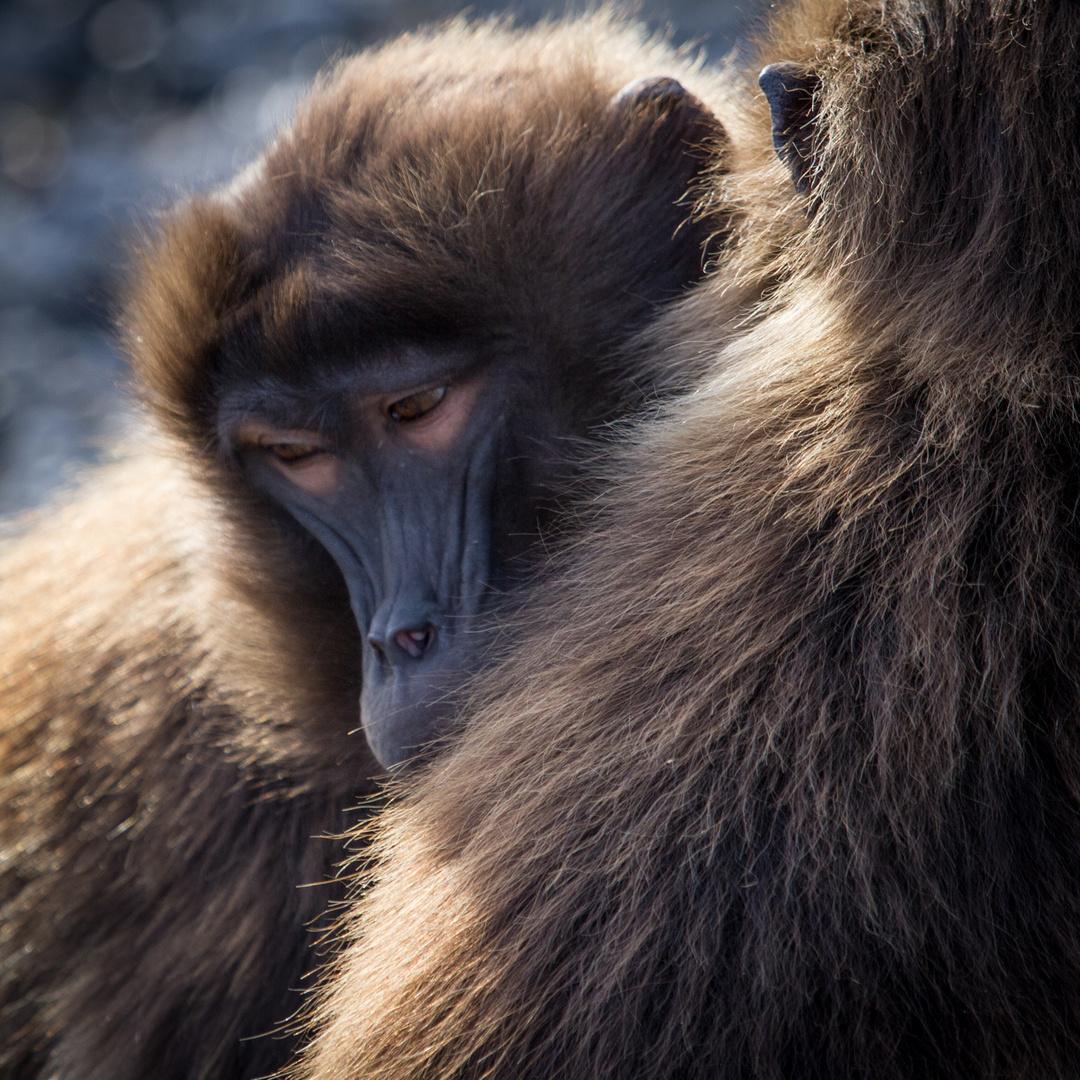 Affenliebe - Zoo Zürich