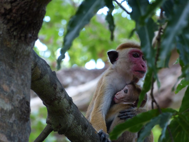 Affenmama mit Baby