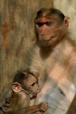 Affenmutter beim Stillen !