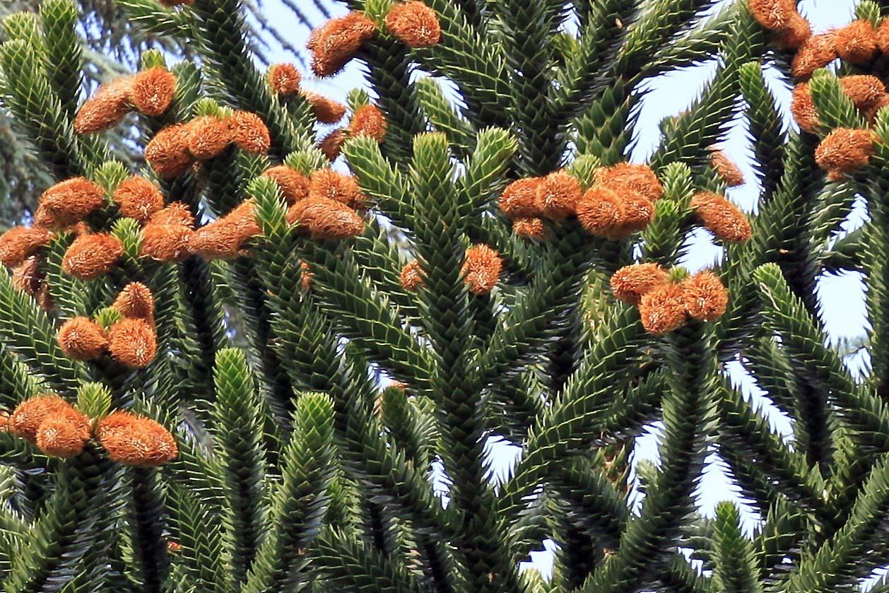 Affenschwanzbaum