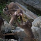 Affenstreit - Zoo Zürich